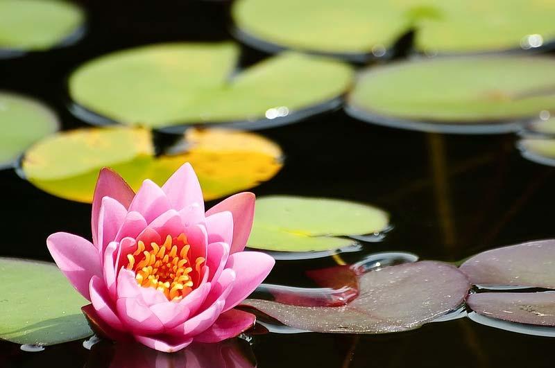 5 Pond Plants Koi Wont Eat Chucks Landscaping