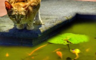 cat fishing in pond