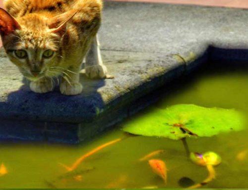 How to keep Predators Away from Koi Ponds