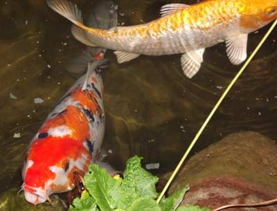 a custom koi pond design and construction done by our team