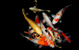 why are koi fish so expensive?