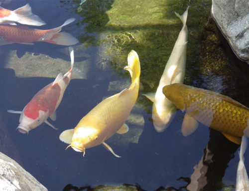 How to Lower pH in a Koi Pond